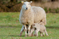 Two Young Lambs Feeding from Mother Ewe Royalty Free Stock Photos