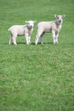 Two young lambs in field Royalty Free Stock Photo