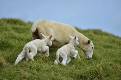 Two lambs with mother sheep. Two young lambs jumping up hill while mother sheep is grazing stock images