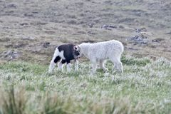 Two young lambs playing around on green grass stock photos