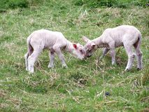 Lambs,two lambs in their grazing a summer afternoon stock photos