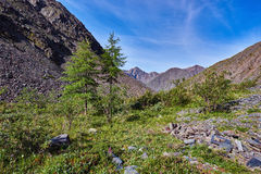Two young larch (Larix sibirica) mountains of Eastern Siberia Stock Images