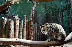 Two young leopard in a zoo. Two young leopard in the zoo of the city of Prague, Czech Republic Stock Photography