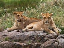Two young lion on a big rock. National Park. Kenya. Tanzania. Masai Mara. Serengeti. Stock Photos
