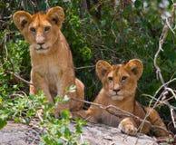 Two young lion on a big rock. National Park. Kenya. Tanzania. Masai Mara. Serengeti. Stock Photo