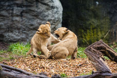 Two young lion cubs fighting Royalty Free Stock Images