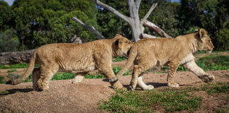 Two young lion cubs playing and biting. Royalty Free Stock Images