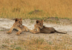 Two young Lion cubs resting on the dusty plains in Hwange Stock Photo
