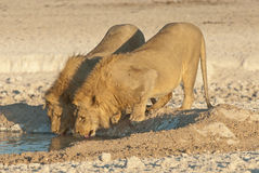 Two young lion males drinking Royalty Free Stock Photos