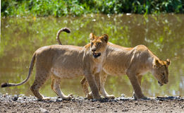 Two young lion near the water. National Park. Kenya. Tanzania. Masai Mara. Serengeti. Stock Photography