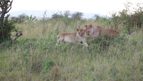 Two young lion resting in the evening in the savannah. Young lion cubs sitting in the grass. Evening stock video footage