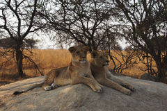 Two young lionesses lie on a rock and watching Stock Photo