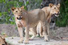 Two young lions Stock Images