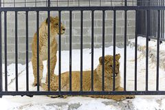 Two young lions. In hutch Royalty Free Stock Photo