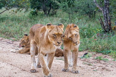 Two young Lions bonding. Stock Images