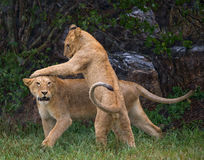 Two young lions playing with each other. National Park. Kenya. Tanzania. Maasai Mara. Serengeti. Royalty Free Stock Images