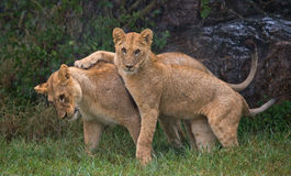Two young lions playing with each other. National Park. Kenya. Tanzania. Maasai Mara. Serengeti. Royalty Free Stock Image