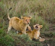 Two young lions playing with each other. National Park. Kenya. Tanzania. Maasai Mara. Serengeti. Royalty Free Stock Image