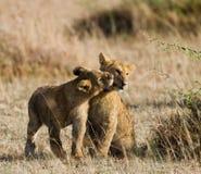 Two young lions playing with each other. National Park. Kenya. Tanzania. Maasai Mara. Serengeti. Stock Photo