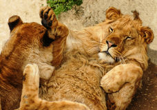 Two young lions playing Stock Photography
