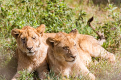 Two young Lions  in Serengeti Royalty Free Stock Photos