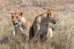 Two lions in the savannah. Two young lions standing in the savannah, looking for prey stock image