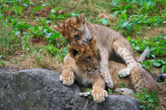 Two young lions together Stock Photos