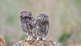 Two young Little owl Athene noctua sits on a stone near his burrow stock footage