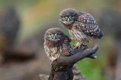 Two young little owls sit on a stick and look forward stock photo