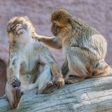 Two young macaques taking care of each other, extreme closeup, details stock photography