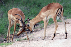 Two young male African antelope Impala beat horns Stock Images