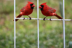 Two Young Male Cardinals Royalty Free Stock Image