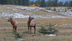 Two young male elks, cervus canadensis Royalty Free Stock Photos