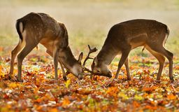 Two young male fallow deer fighting during rut royalty free stock photo