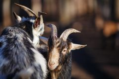Two young male goat with horns play-fight on the farm yard. Anim. Al life, rural concept Royalty Free Stock Image
