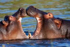 Two young male hippopotamus Hippopotamus amphibius, rehearse fray. National Park Okawango, Botswana stock photo