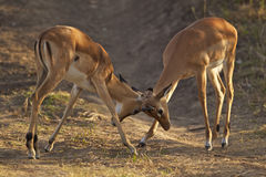 Two young male impalas fighting. For dominance Stock Image