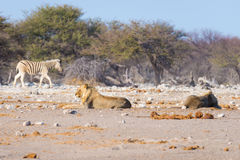 Two young male lazy Lions lying down. On the ground. Zebra (defocused) walking undisturbed in the background. Wildlife safari in the Etosha National Park, main Royalty Free Stock Photo