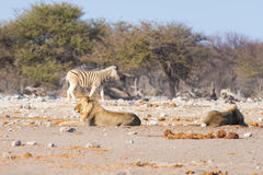 Two young male lazy Lions lying down. On the ground. Zebra (defocused) walking undisturbed in the background. Wildlife safari in the Etosha National Park, main Stock Photography