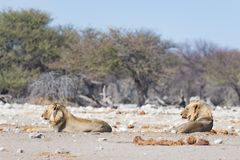 Two young male lazy Lions lying down on the ground. Zebra defocused walking undisturbed in the background. Wildlife safari in th Royalty Free Stock Images