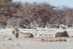 Two young male lazy Lions lying down on the ground. Zebra defocused walking undisturbed in the background. Wildlife safari in th. E Etosha National Park, main Stock Images