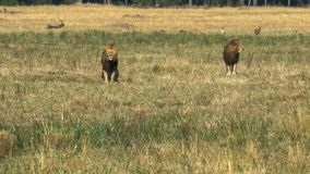 Two young male lions in coalition watch a rival in masai mara. Game reserve, kenya stock image