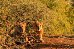 Two young male lions resting under a thorn bush. Two young male adolescent lions resting watchfully under a thorn bush stock photo