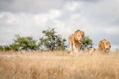 Two young male Lions on the road. royalty free stock photos