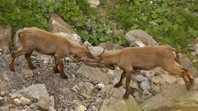 Two young males of alpine ibex. In duel, view from close-up royalty free stock photography