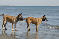 Two young malinois on the beach. Two puppies belgian shepherd malinois and the mediterranean sea Stock Photo