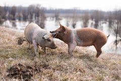 Two young mangulitsa pigs having fun Stock Photos