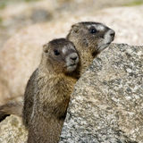 Two Young Marmots. Staying hidden behind a rock near the summit of Mount Evans, Colorado Stock Images