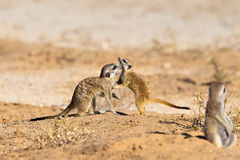 Two young Meerkats play fighting. Against a blurred natural background, and an adult in the blurred foreground watching on, Kalahari Desert, South Africa Stock Images