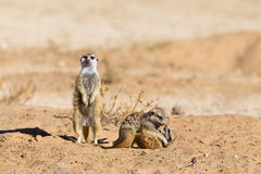 Two young Meerkats play fighting. Against a blurred natural background, and an adult on lookout, Kalahari Desert, South Africa Royalty Free Stock Images